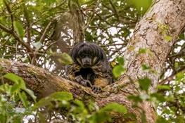 حیوان اسرارآمیزی که پس از ۸۰ سال بار دیگر در آمازون دید شد!