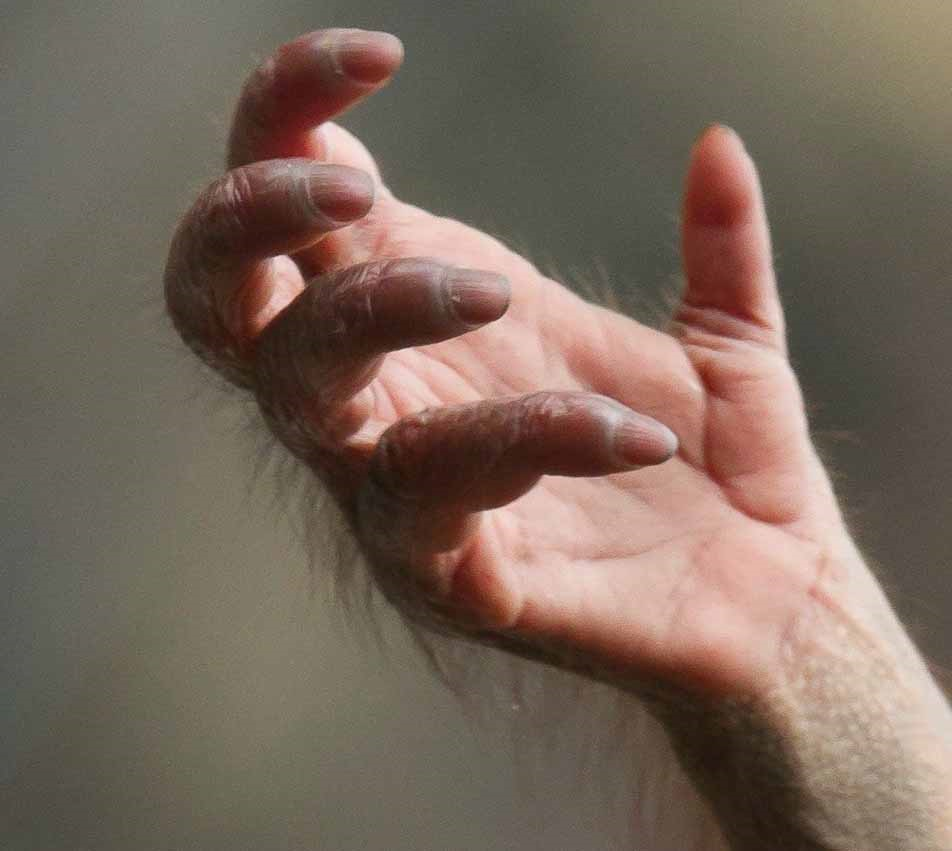 عکسی که نمیتوانید باور کنید دست یک اورانگوتان است!